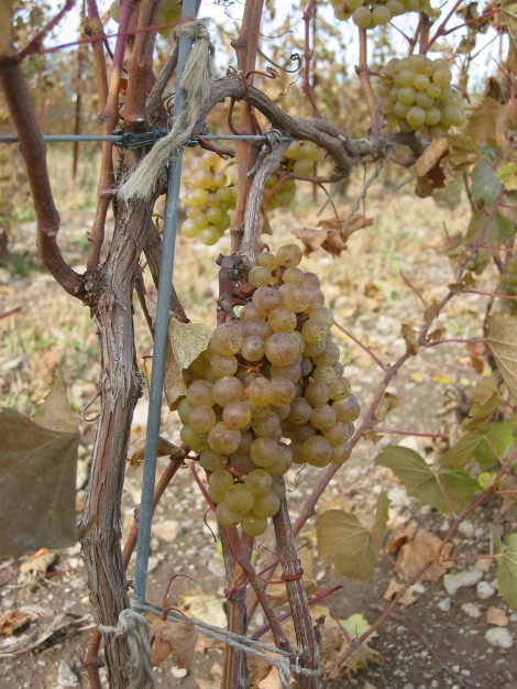 The last chardonnay grapes at Closson Chase vineyard, in Prince Edward County, just before they were picked on October 17